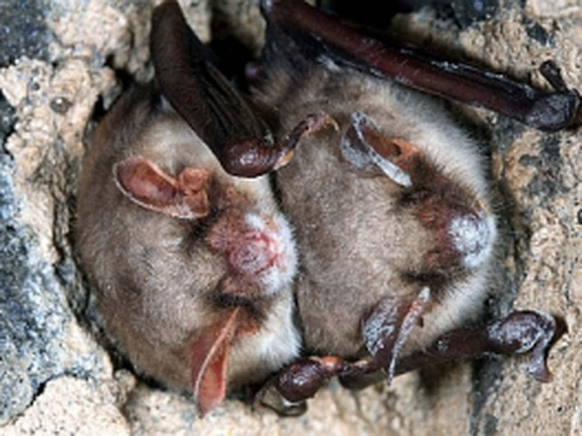 2011 - Großes Mausohr (Myotis myotis)